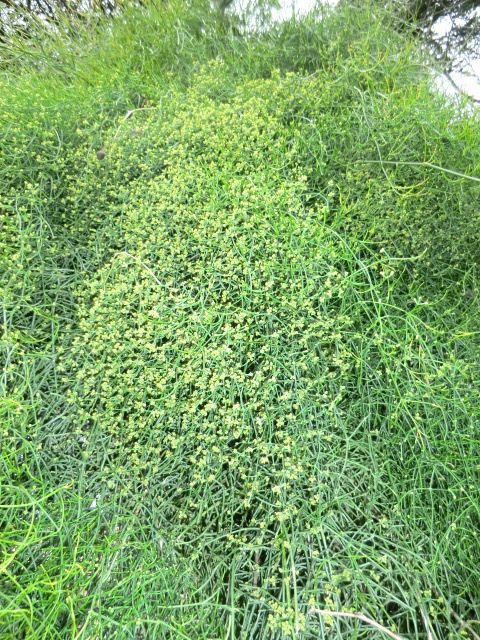 Ephedra altissima Ephedra altissima Wikiwand
