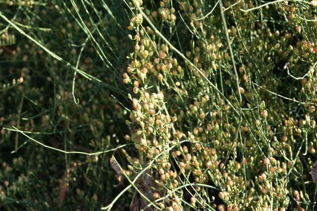 Ephedra altissima Ephedraaltissima230520091JPG