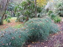 Ephedra altissima httpsuploadwikimediaorgwikipediacommonsthu