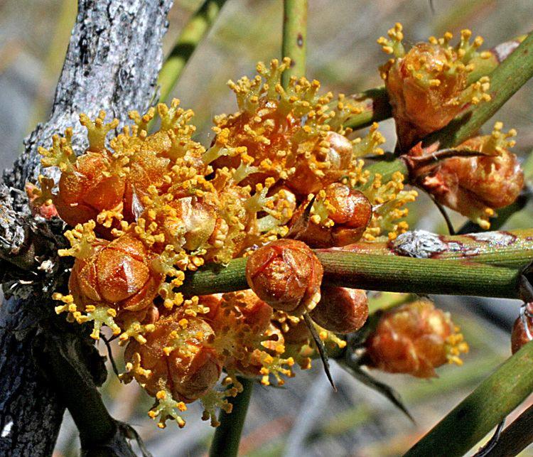 Ephedra trifurca Vascular Plants of the Gila Wilderness Ephedra trifurca