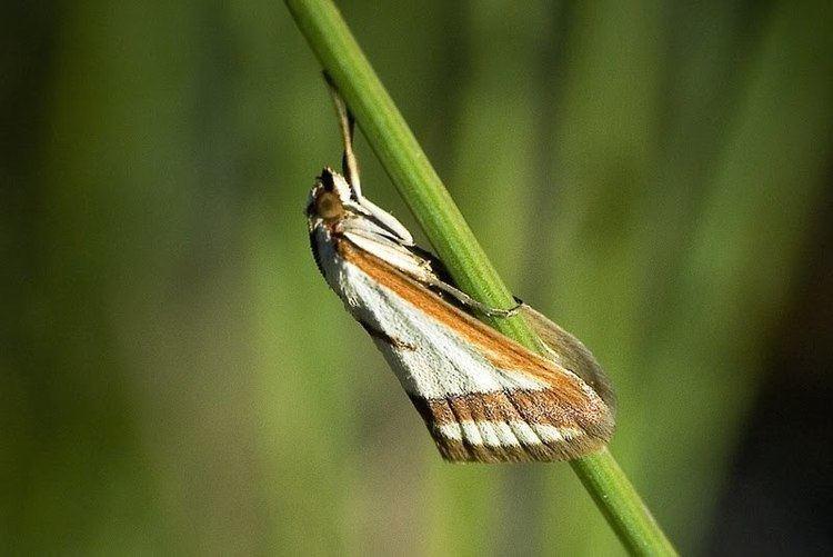 Ephelis pudicalis