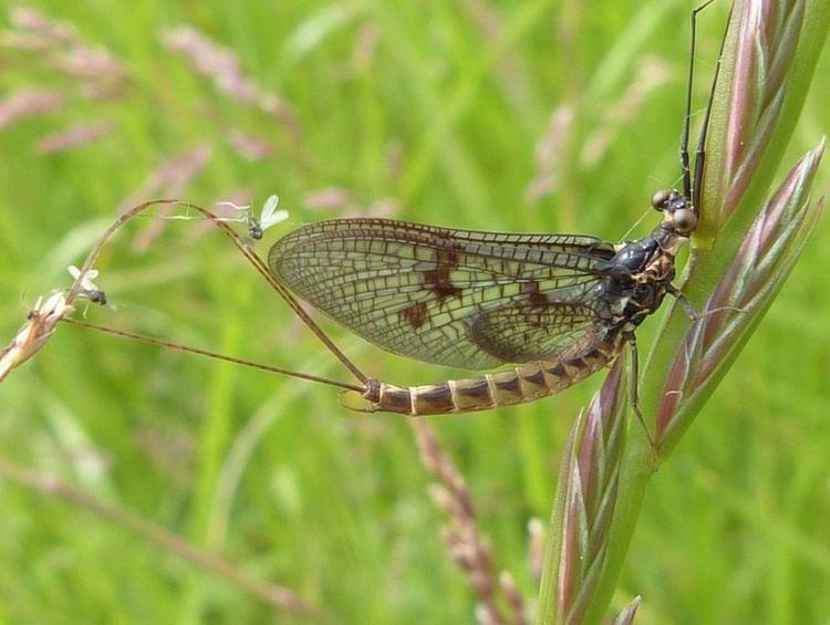 Ephemera vulgata Ephemera vulgata Ephemera vulgata NatureSpot