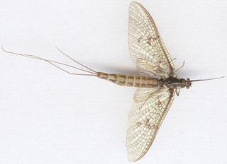 Ephemera vulgata Ephemera vulgata Linnaeus 1758 Discover Life