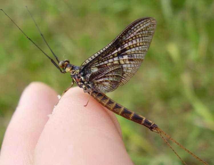 Ephemera vulgata Dipterainfo Discussion Forum ephemera vulgata