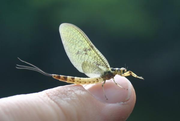 Ephemeroidea