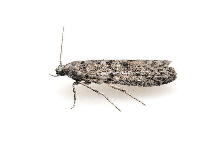 Ephestia Ephestia kuehniella eggs of the Indian flour moth