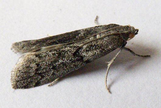 Ephestia RP2 Mutation genetics in the flour moth Ephestia kuehniella