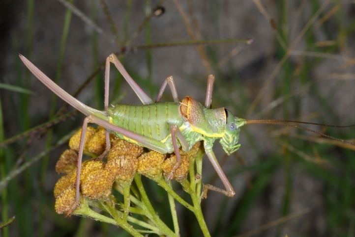 Ephippiger European locusts and their ecology Ephippiger ephippiger