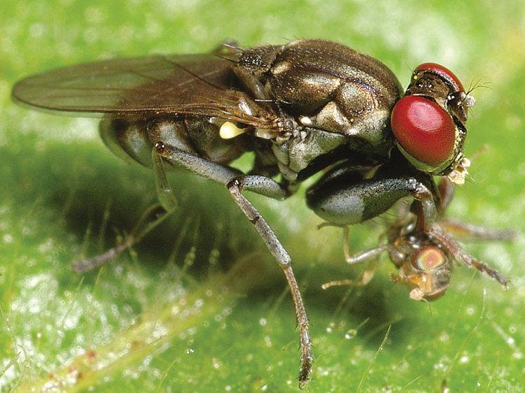 Ephydridae phoridnetzadbiwpcontentuploads201301famili