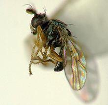 Ephydridae Ephydridae Wikipedia
