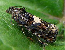 Epiblema (moth) httpsuploadwikimediaorgwikipediacommonsthu