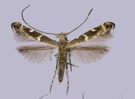 Epicephala parasitica