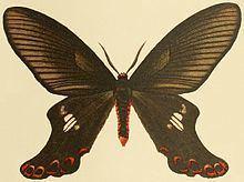 Epicopeia polydora httpsuploadwikimediaorgwikipediacommonsthu