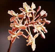 Epidendrum anceps httpsuploadwikimediaorgwikipediacommonsthu