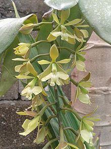 Epidendrum coronatum httpsuploadwikimediaorgwikipediacommonsthu