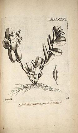 Epidendrum difforme httpsuploadwikimediaorgwikipediacommonsthu
