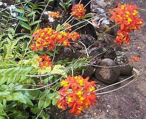 Epidendrum fulgens Epidendrum fulgens