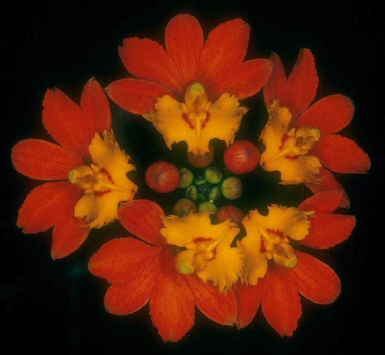 Epidendrum fulgens IOSPE PHOTOS