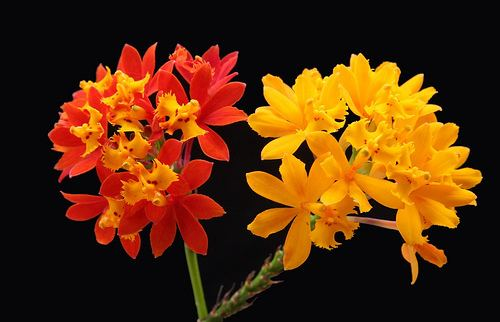 Epidendrum fulgens epidendrum fulgens Gallery