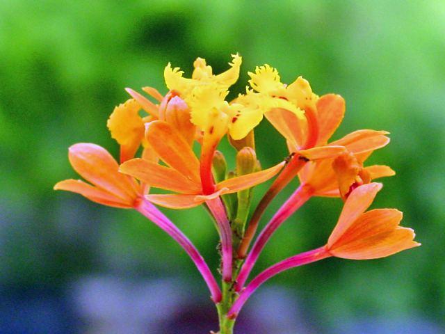 Epidendrum fulgens Epidendrum fulgens Wikipedia