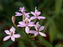 Epidendrum ibaguense httpsuploadwikimediaorgwikipediacommonsthu