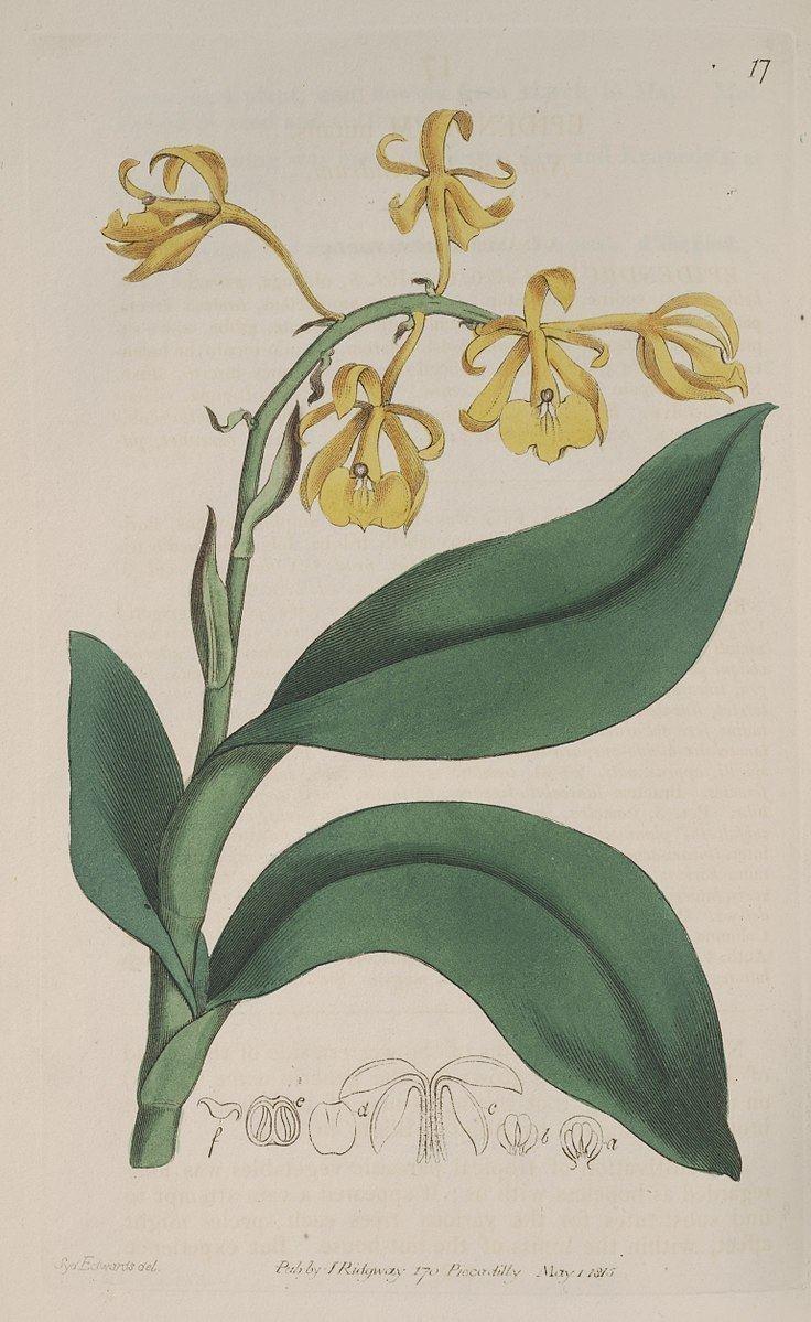 Epidendrum nutans
