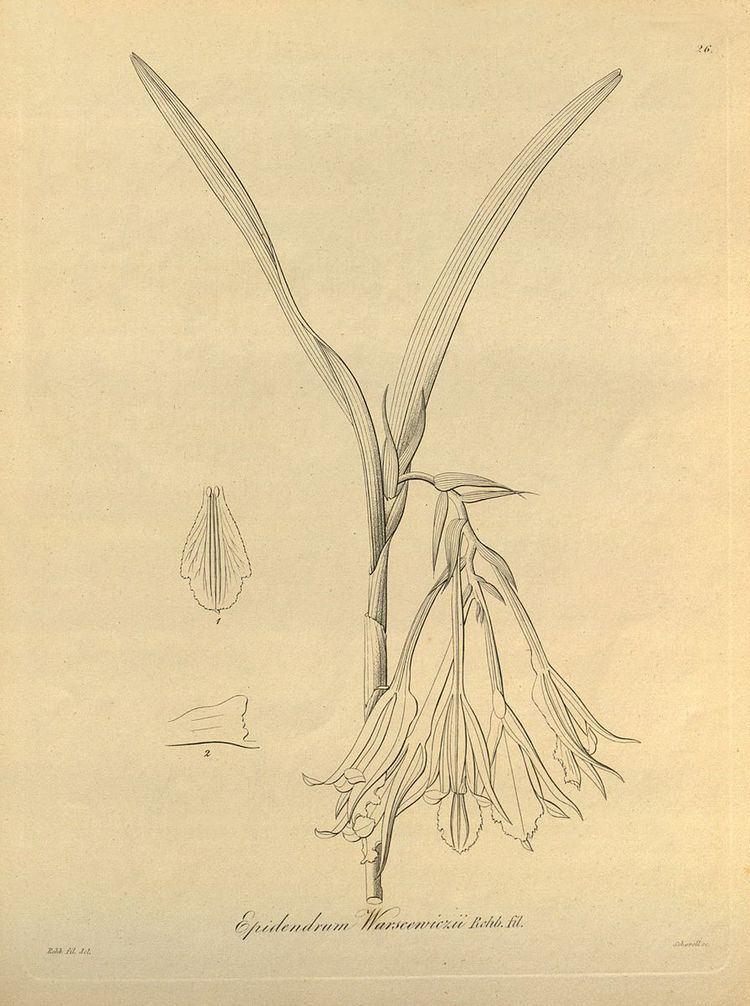 Epidendrum warszewiczii