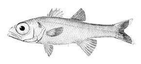 Epigonus (genus) httpsuploadwikimediaorgwikipediacommonsthu