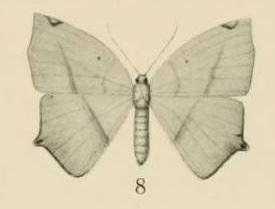 Epigynopteryx