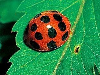 Epilachninae wwwbiodiversityexplorerorgbeetlescoccinellidae