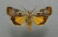 Epilecta linogrisea httpsuploadwikimediaorgwikipediacommonsthu