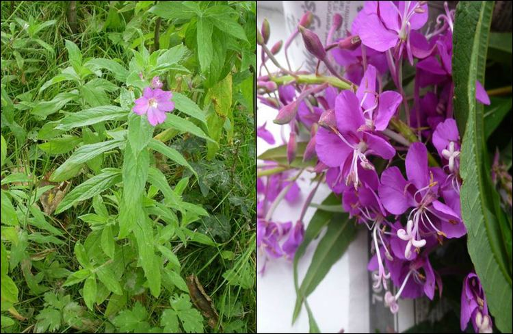 Epilobium Epilobium The Leader in Epilobium Research and Information