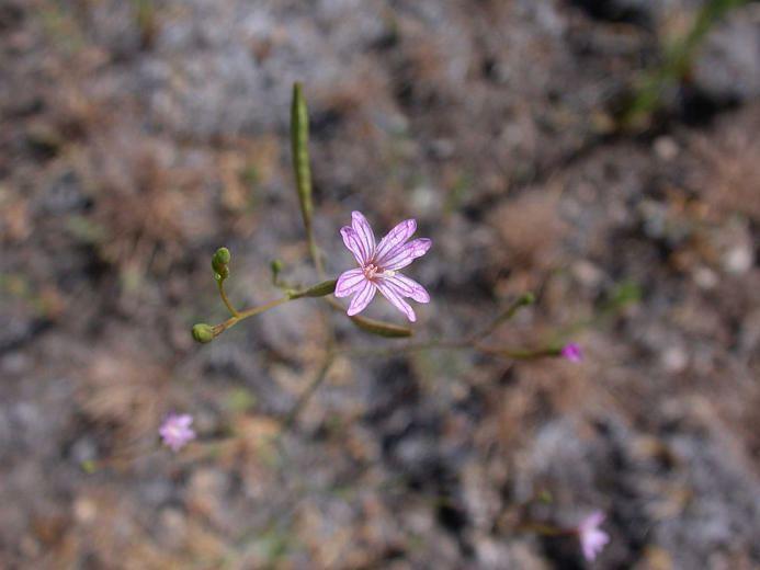 Epilobium brachycarpum CalPhotos Epilobium brachycarpum Desert Willow Herb
