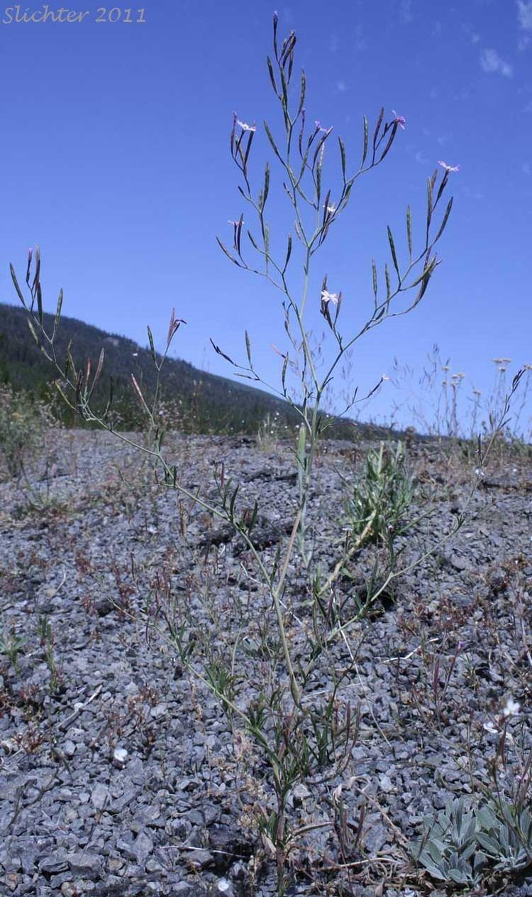 Epilobium brachycarpum Autumn Willowherb Tall Annual Willowherb Epilobium brachycarpum