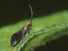 Epimartyria auricrinella httpsuploadwikimediaorgwikipediacommonsthu