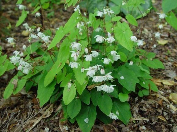 Epimedium wushanense Epimedium wushanense Cultivate Your Garden Style