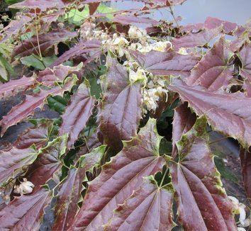 Epimedium wushanense Epimedium wushanense plant lust