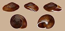 Epiphragmophoridae httpsuploadwikimediaorgwikipediacommonsthu