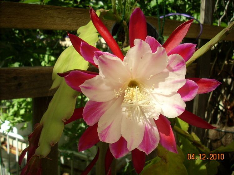 Epiphyllum 1000 images about Epiphyllum on Pinterest Deutsch Cactus and De mayo