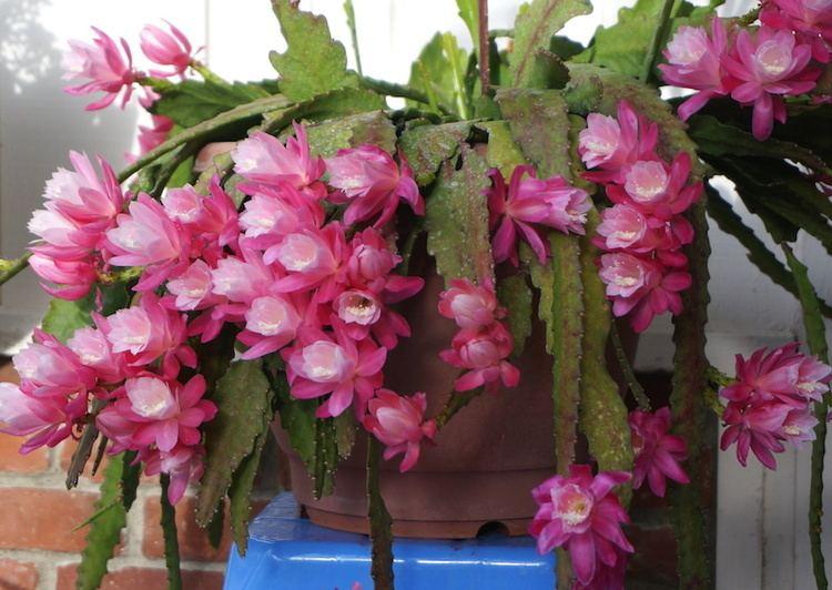Epiphyllum Pictures of Epiphyllum flowers