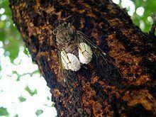 Epipomponia nawai httpsuploadwikimediaorgwikipediacommonsthu