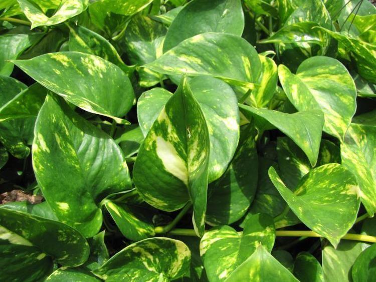 Epipremnum aureum Epipremnum aureum My Jungle Garden