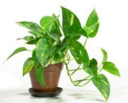 Epipremnum aureum Golden Pothos Plant Devil39s Ivy Epipremnum aureum Picture Care