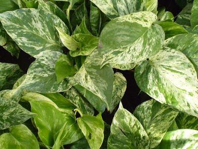 Epipremnum aureum Plants are the Strangest People John Q Public Epipremnum aureum