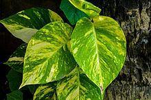 Epipremnum aureum httpsuploadwikimediaorgwikipediacommonsthu
