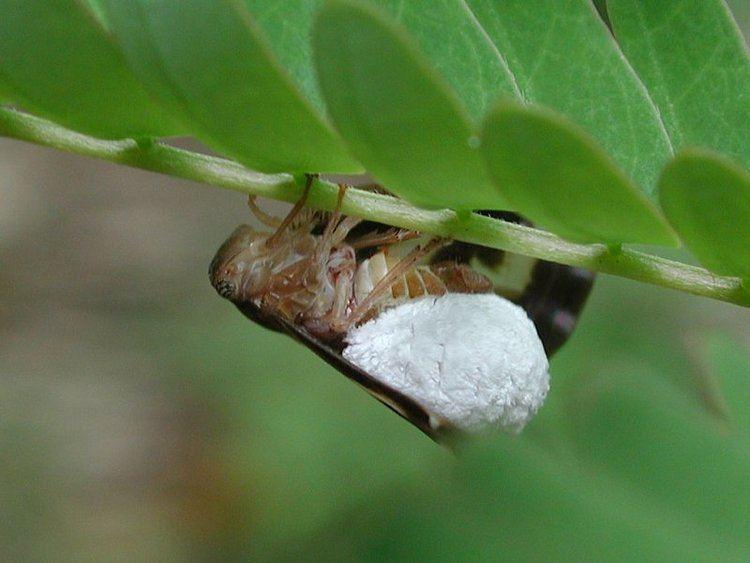Epipyropidae