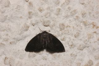 Epipyropidae Epipyropidae Planthopperparasite moths Discover Life