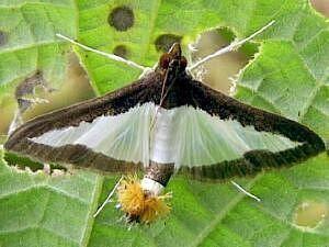 Epipyropidae Moth Photographers Group MothTalk007htm