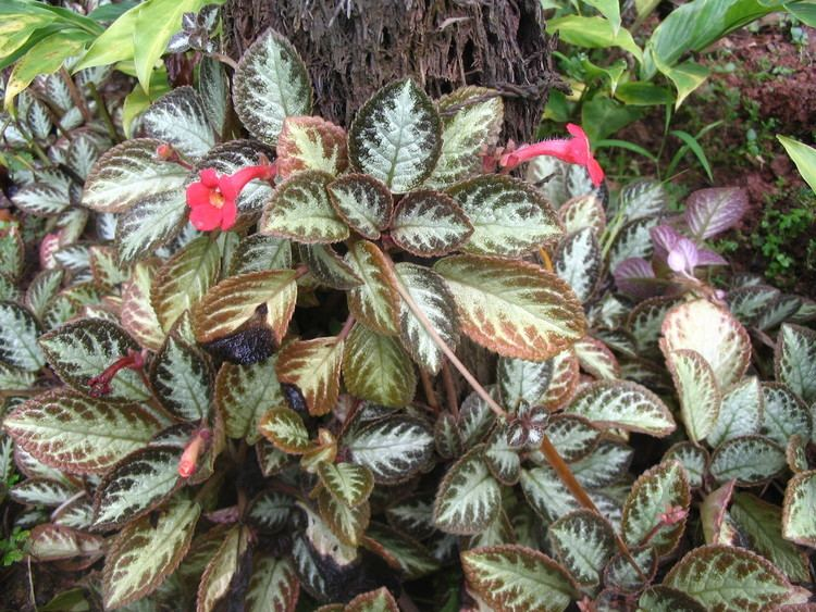 Episcia 1000 images about Episcia39s on Pinterest Pastel blue Violets and