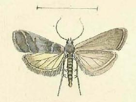 Episcythrastis tabidella